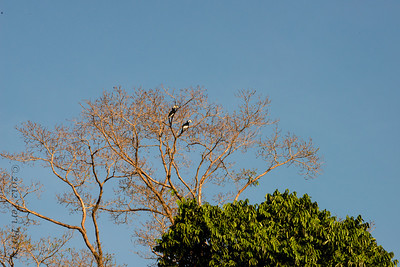 BIRD- hornbill - pied-0208