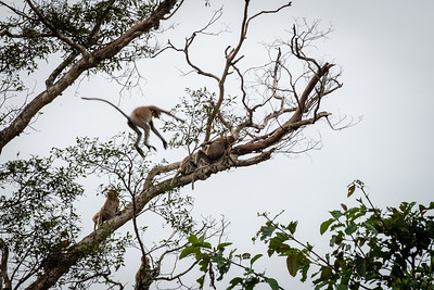 MONKEYS -Proboscis jumping-0030
