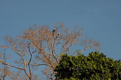 BIRD - pied hornbill-0210