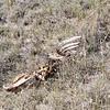 Killed zebra