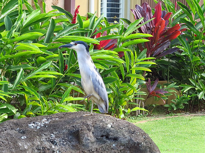 Black-crowned Night Heron at the Sheraton Kauai