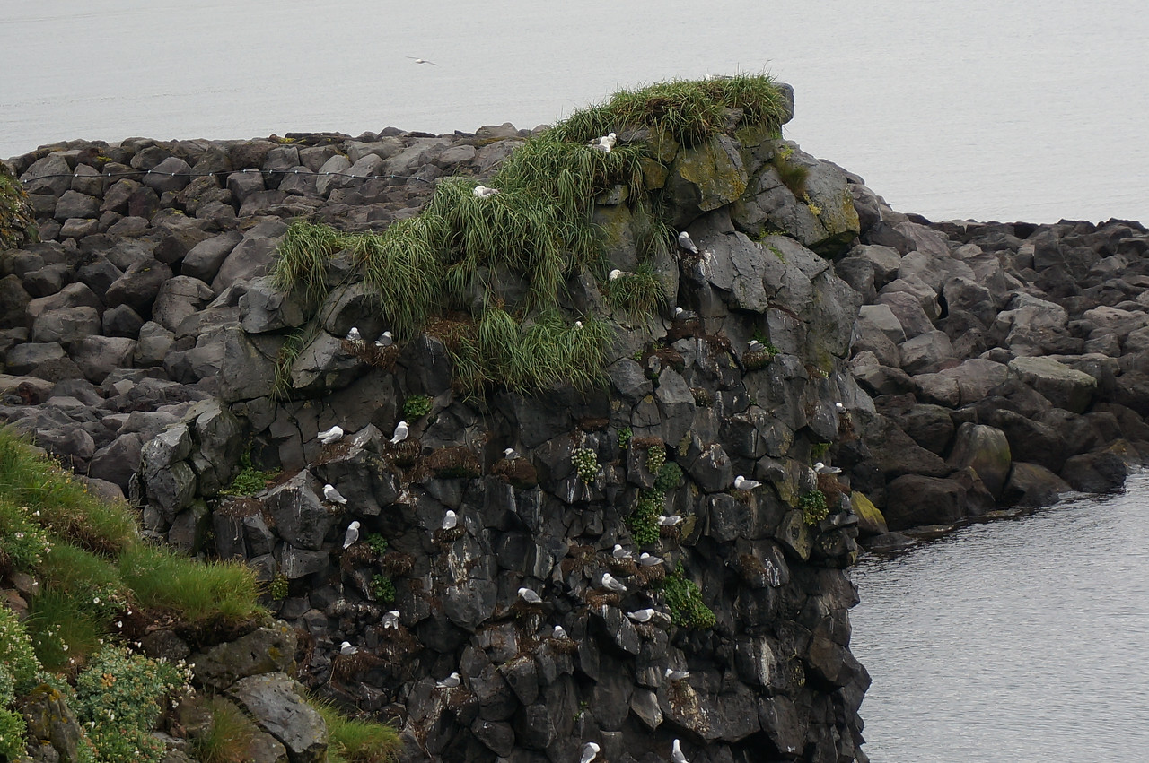 Sea birds on coastline of Snaefellsjokull National Park