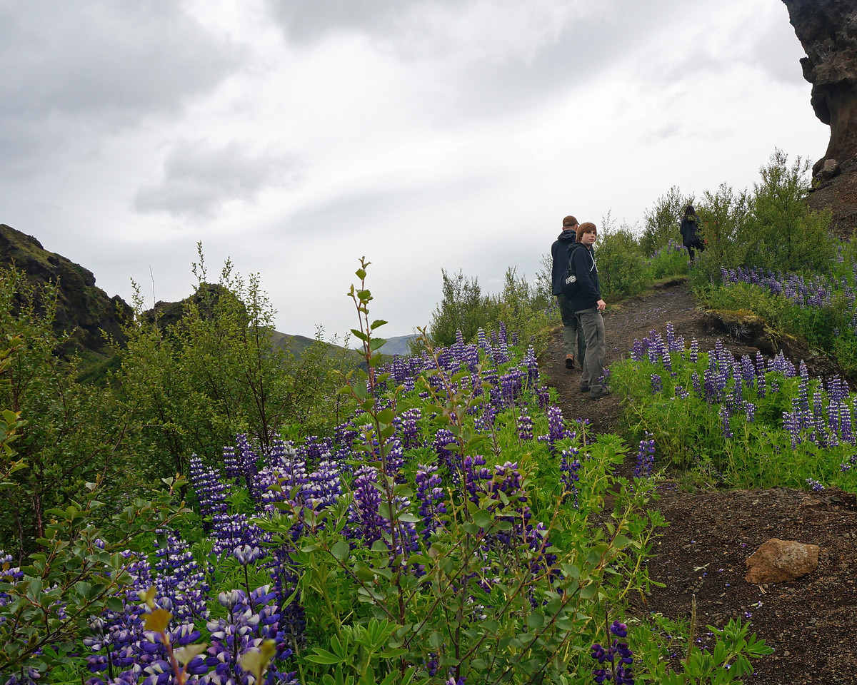 Purple lupins considered invasive weed from Alaska