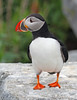 ATLANTIC PUFFIN -- MACHIAS SEAL ISLAND, CANADA
