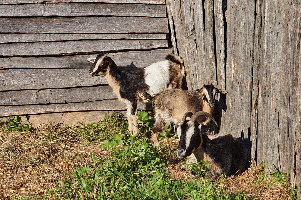 4398 Three goats in Plimoth. Instead of photographing goats I should have photographed Pilgrims in period dress and style, an omission I regret.