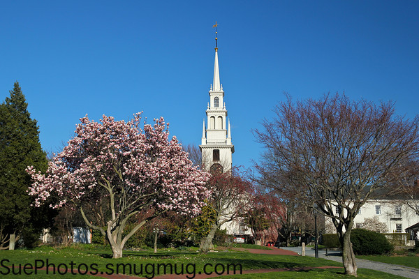The steeple of Trinity Church rises behind a tree flowering in springtime, in Newport, Rhode Island.