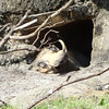 A warthog sleeping in the sun.