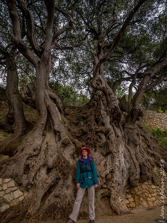 1000 year Olive tree