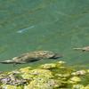 Caretta carettas (sea turtles)
