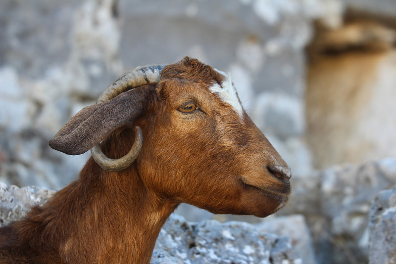 Xanthos goat