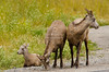 Bighorn Sheep Family in Jasper National Park, Canada