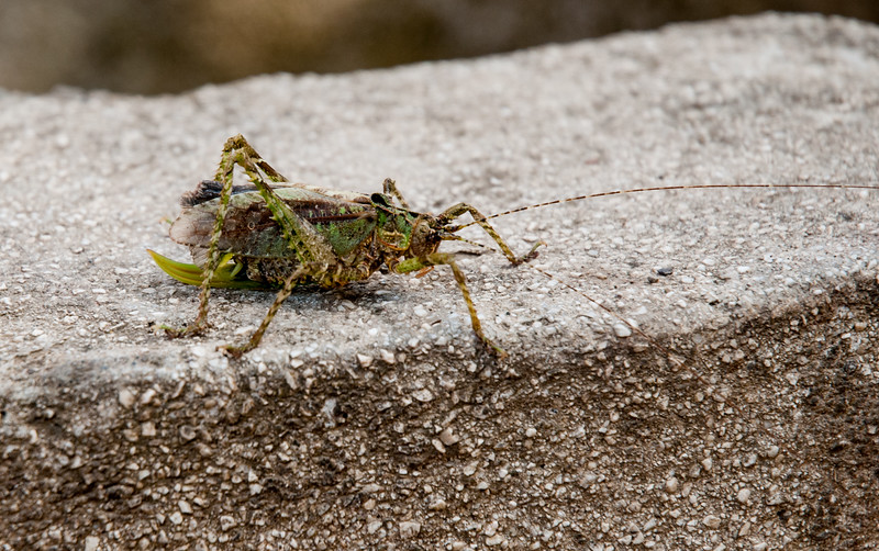 A gnarly grasshopper - with body about 2 inches long, visits the parking lot.