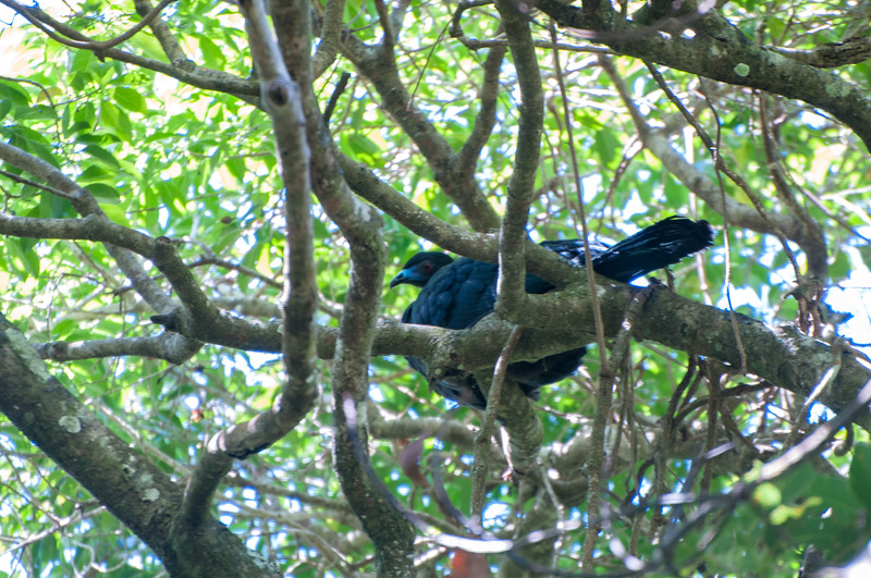 A black guan, the size of a turkey, sits in the canopy of the Bajo del Tigre forest.