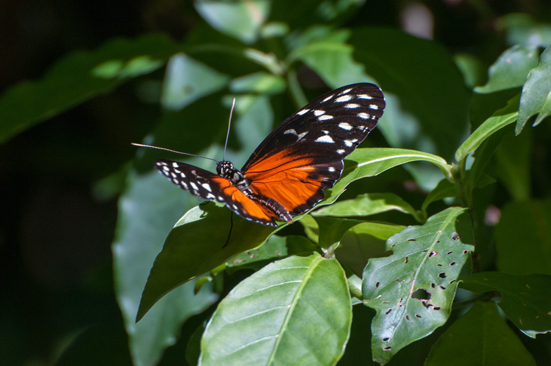 "a ""Hecale Longwing"" aka heliconius."