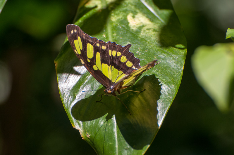 "A ""Malachite"" butterfly."