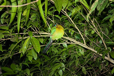 """A """"turquoise-browed motmot"""" bird clings to a branch in the windy evening, while asleep!"""