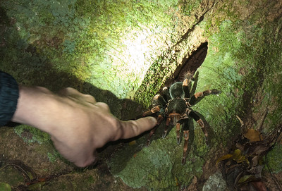 The guide coaxes a tarantula out of its hole in a tree trunk.
