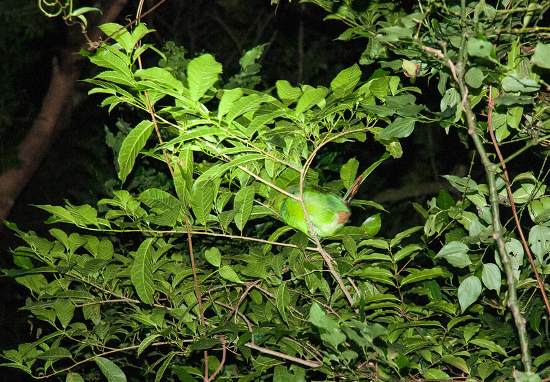 "An ""emerald toucanette"" bird clings to a branch in the windy evening, while asleep!"