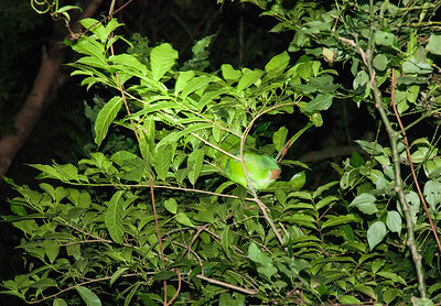 """An """"emerald toucanette"""" bird clings to a branch in the windy evening, while asleep!"""
