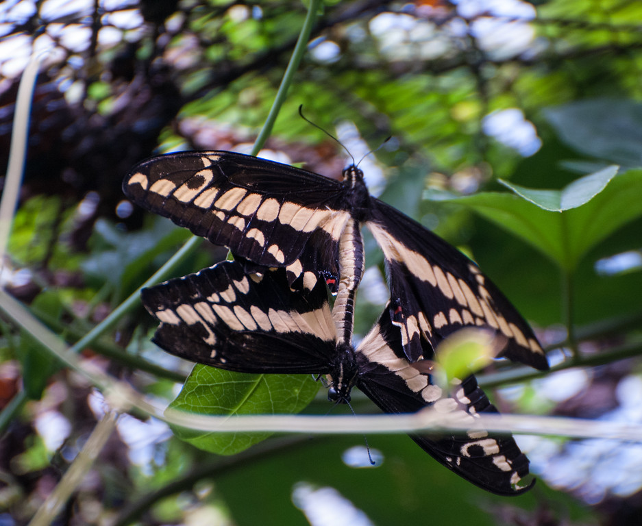 "At the Monteverde Butterfly Garden, two mating ""thoas swallowtail"" butterflies."