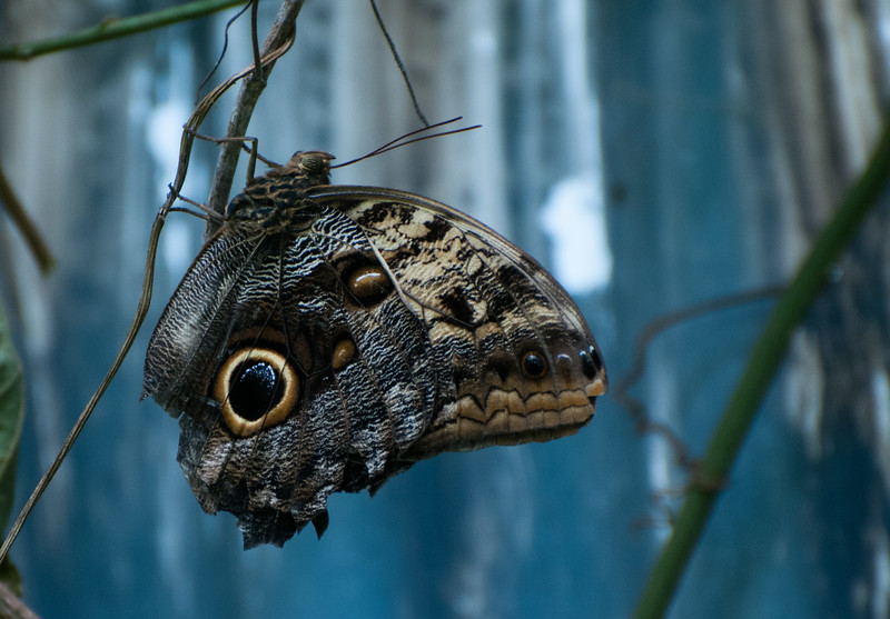 "An ""owl's eye"" butterfly."