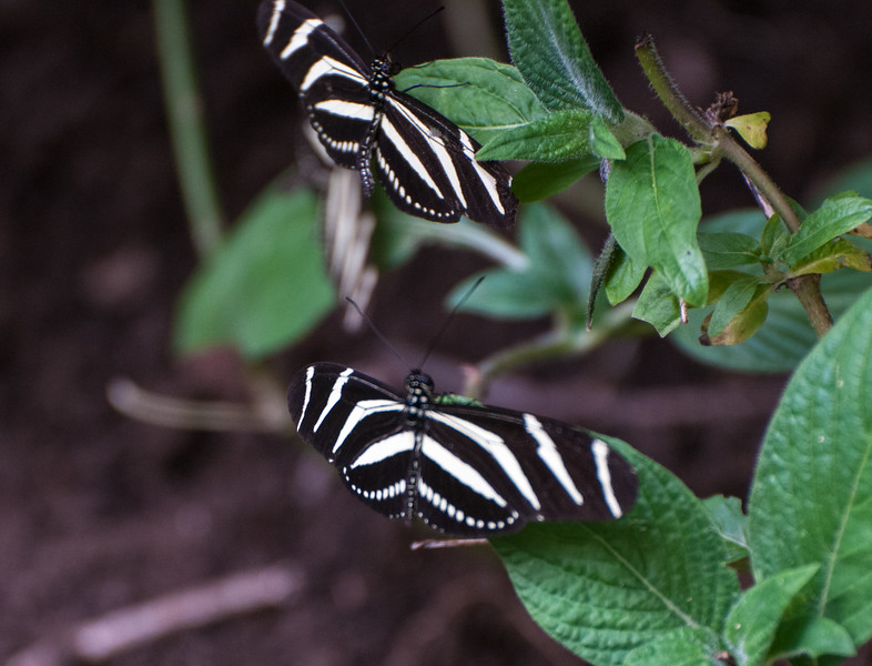 Two zebrawing butterflies.