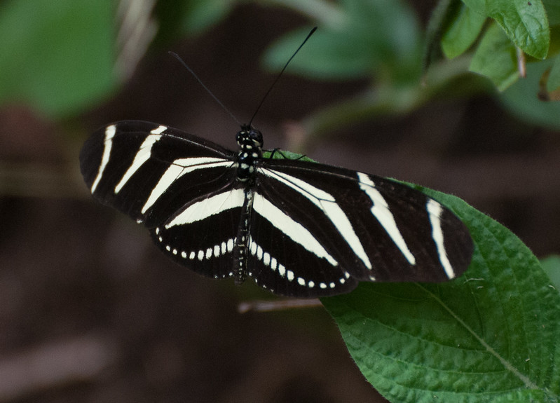 A zebrawing butterfly.