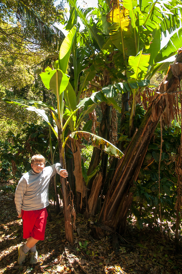 """Andy with a banana plant; the trunk at right is about 8"""" diameter. Each plant grows for one year, produces a bunch of bananas, and dies back."""
