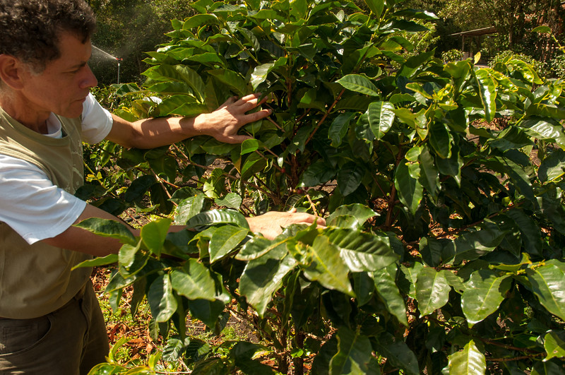 Guillermo shows us the ripening coffee beans.