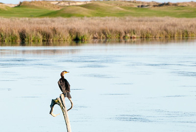 A cormorant surveys his lagoon - Kiawah Island, SC.