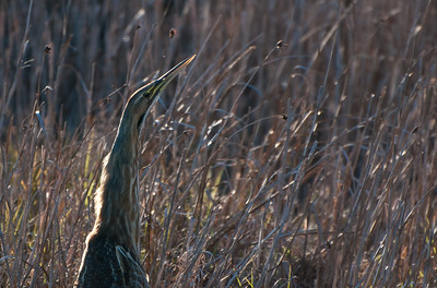 I love how this bird seems to be trying to look like just another blade of grass  - Kiawah Island, SC.