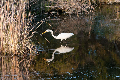 The egret knows the automatic sluice gate opens at this time of day, and the inflowing water brings fish to eat - Kiawah Island, SC.