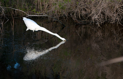 The egret catches a meal!  - Kiawah Island, SC.