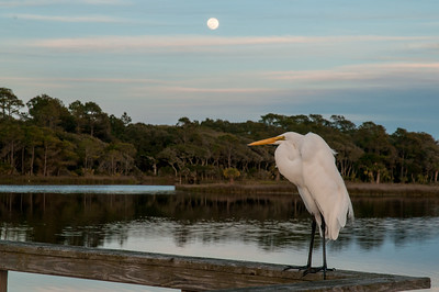 Egret and moonrise over lagoon - Kiawah Island, SC.