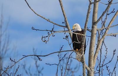 Bald Eagle - Alaska