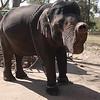 Elephant in captivity showing her trunk to the camera, at Dubare Elephant Camp near Coorg.