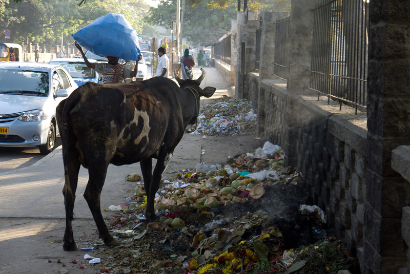 A cow enjoying street life...