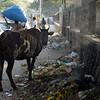 A cow enjoying street life...
