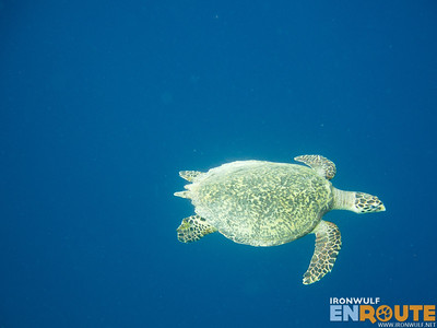 Snorkeling Mantigue Island Marine Sanctuary Encounter with a Green Sea Turtle