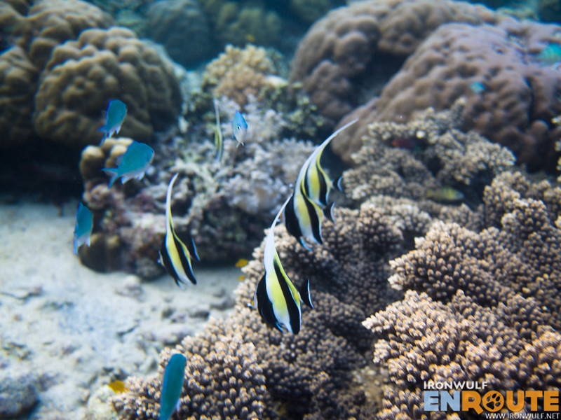 Some of the moorish idol and blue fishes in the area