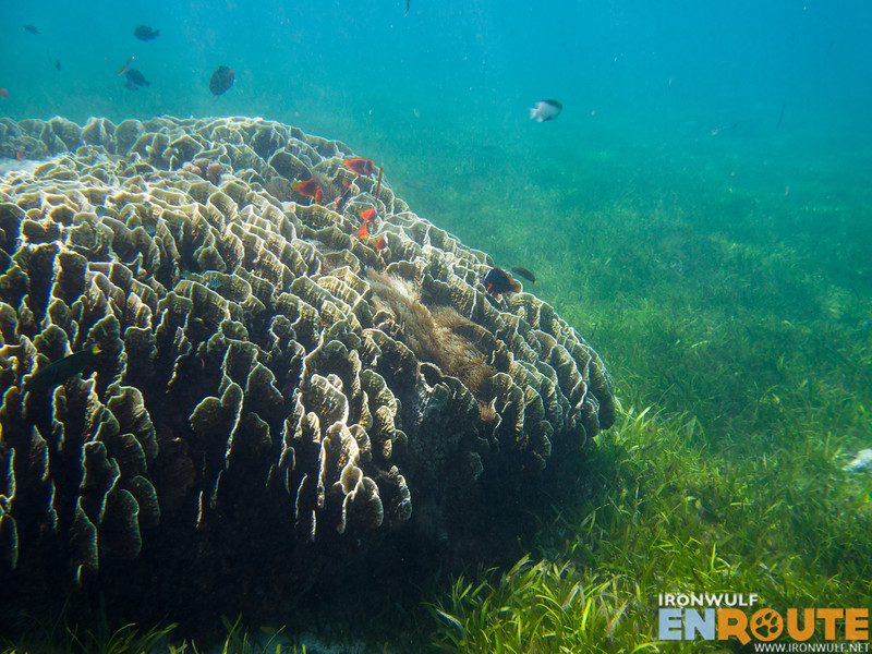 Lush seagrass bed and a large colony of sea anemones living on the coral