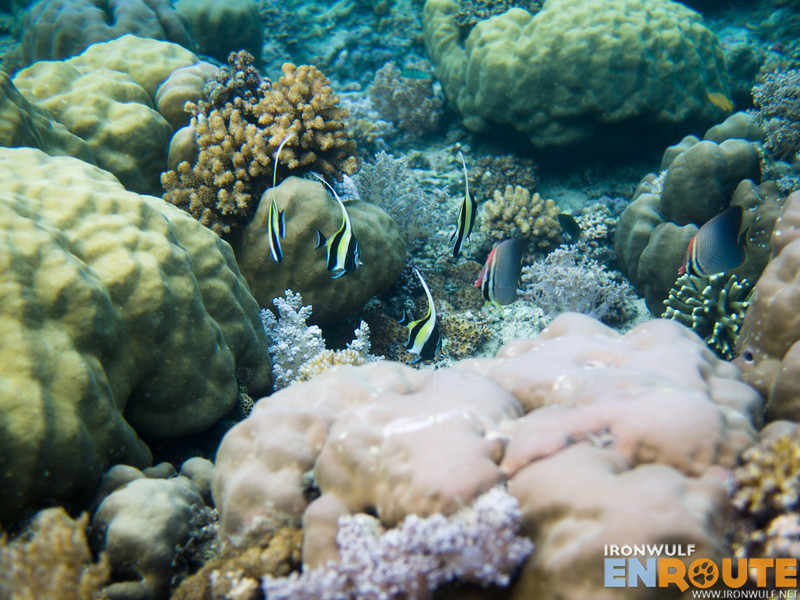 More corals, moorish idol and butterfly fishes