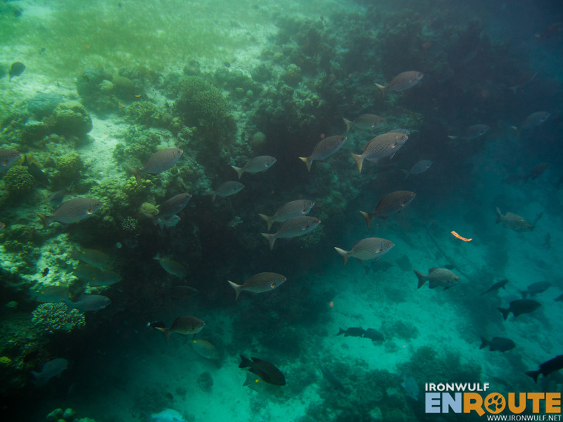 School of large fishes near the deep reef wall