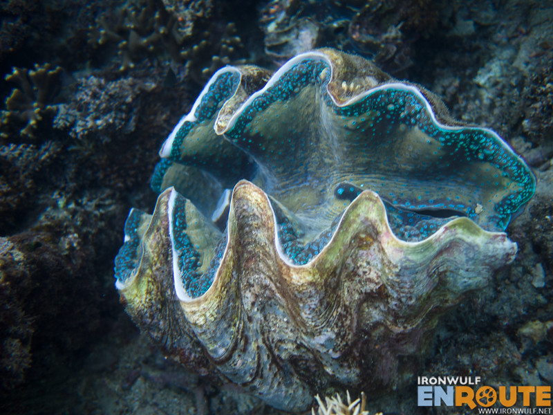 A colorful giant clam clumped together with 14 other giant clams in the area