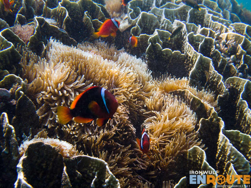 The Mantigue Island Marine Sanctuary has the largest colony of sea anemones I have ever snorkeled
