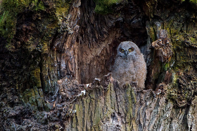 Great Horned Owlet - Nisqually National Wildlife Refuge