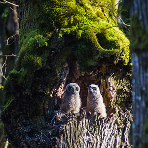 Two Great Horned Owlets in the tree nest
