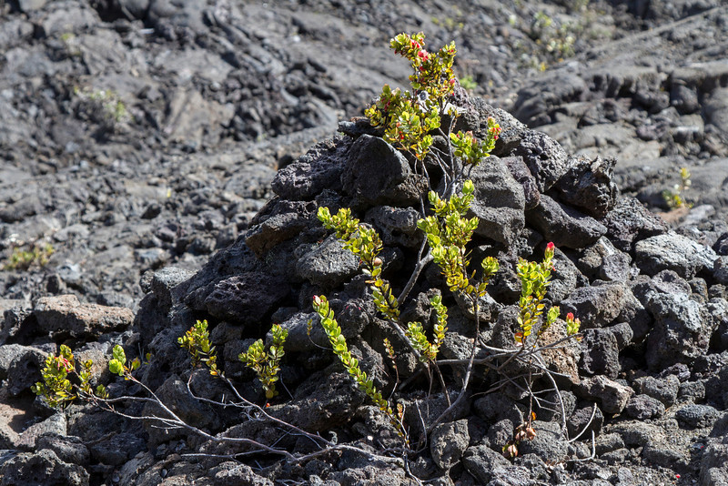 Plant in Kilauea Iki crater.