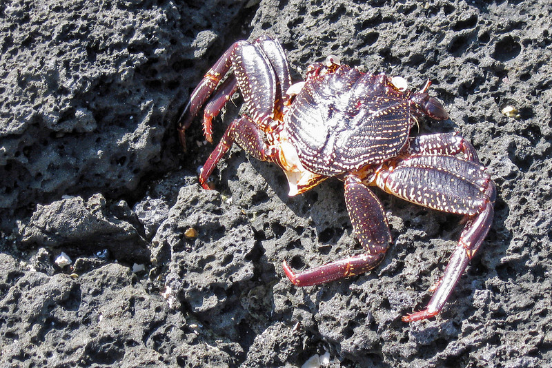 Crab on lava rock at the Place of Refuge, Honaunau, HI