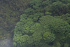 From helicopter: Monkeypod trees near Hilo, HI